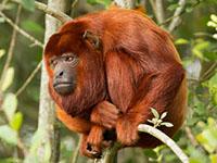 Mantled howler (Alouatta seniculus) resting