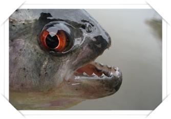 schwarzer piranha
