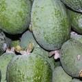 Feijoa – Ananasguave