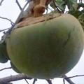 Fruta-de-Lobo – Wolfsapfel