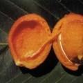 Fruta-de-Tatu