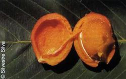 Fruto-de-tatu