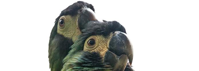 papageien_curica verde_0018