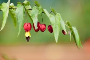 Abutilon megapotamicum. Brazilian Bell Flower