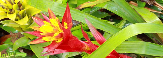 Bromeliad  red closeup