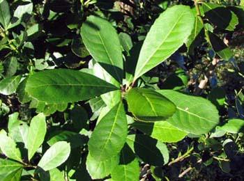 mate-pflanze