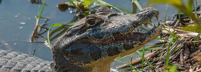 alligatore_jacare_kaiman1026