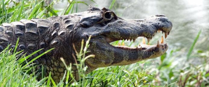 alligatore_jacare_kaiman1716