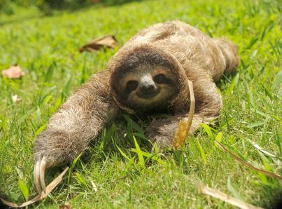 cute three toe sloth juvenile male on grass