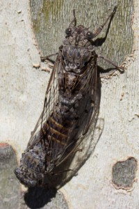 cicadas 2 - south of France - valerie barry