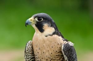 Peregrine Falcon (Falco peregrinus), aka Duck Hawk