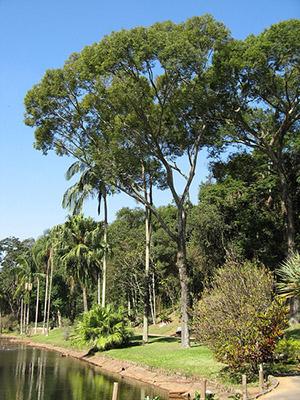 Jequitibabotanico-wikipedia-org
