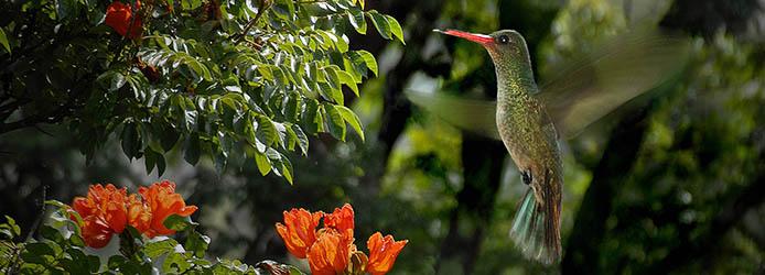 Kolibri-694