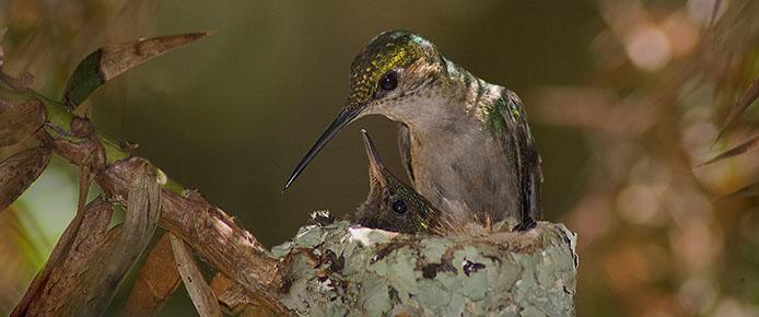 Kolibri-Nest-694