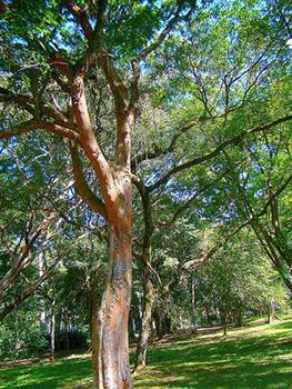 Caesalpinia Echinata, Lam