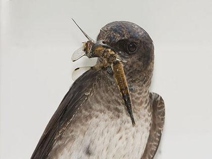Purpurschwalbe1