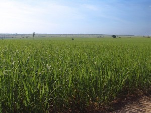 zuckerrohr-brasilien