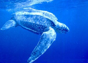 Dermochelys-coriacea-tortuga-laud-buceando