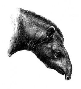 Tapir Head