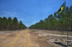 eukalyptus-brasilien