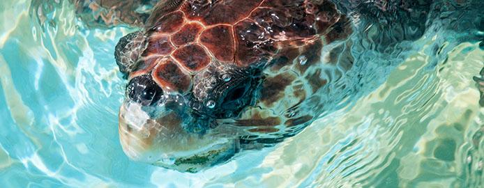 Meeresschildkröten – Reptilien unter Naturschutz » BrasilienPortal
