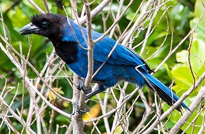 fauna-floripa-gralha azul_3532