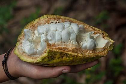 una kakaoplantage_DSC4662