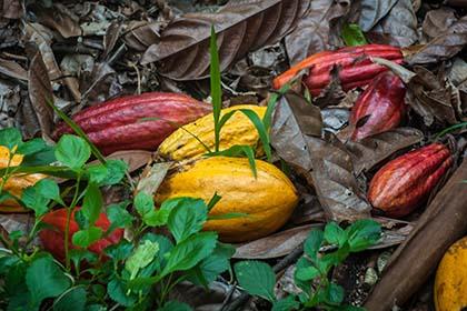 una kakaoplantage_DSC4664