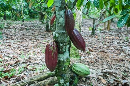 una kakaoplantage_DSC4667