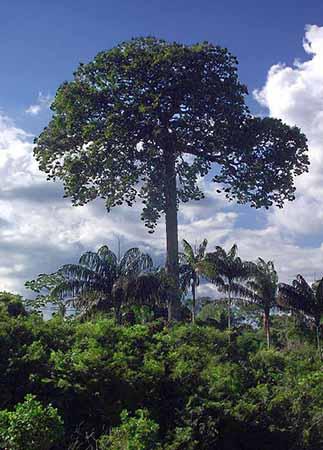 Paranussbaum