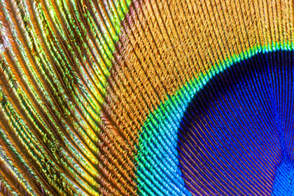 peacock feather closeup
