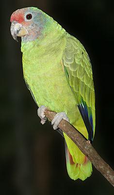 Amazona_brasiliensis_001_1280