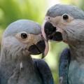 Brasilien erhält zum Tag des Artenschutzes von Deutschland zwei seltene Spix-Aras