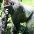 Der Bestand der Gorillas hat sich in den letzten Jahren ein wenig erholt; Pixabay.com © ravelinerin (CC0 1.0)