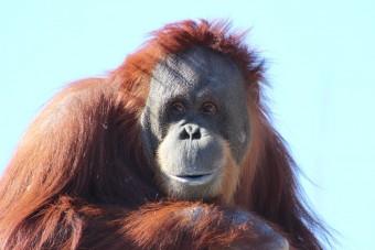 In freier Wildbahn leben nur noch 50.000 Orang-Utans auf Borneo und Sumatra; Pixabay.com © ShekuSheriff (CC0 1.0)