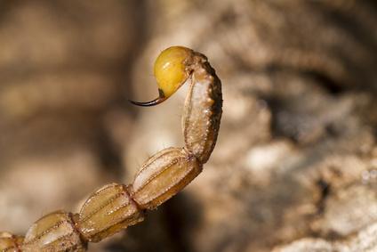 Detail eines Skorpion Stachels.