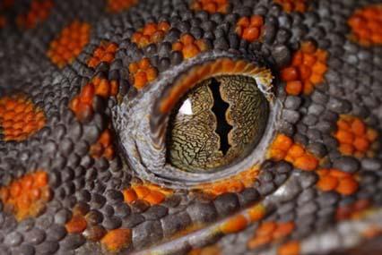 gecko tokay - Primer plano de ojo