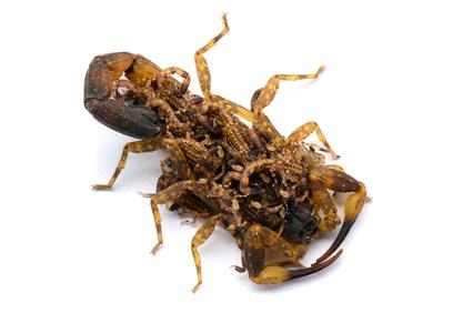 Skorpion Babies auf dem Rücken der Mutter.