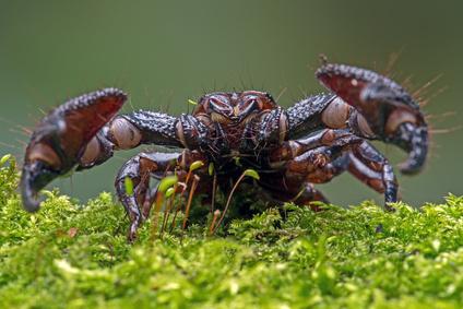 Schere eines Skorpion.