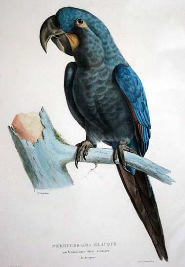 Anodorhynchus leari