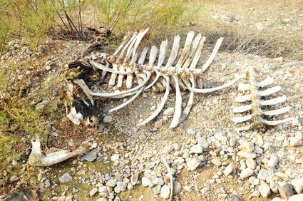 bones of dead cattle