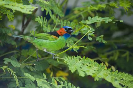 Assunto: Saíra-militar ou saíra-de-lenço Tangara cyanocephala Thraupidae brasileira de rara beleza Local: Ubatuba - SP - Brasil Data: 07/2011