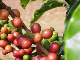 Mercado-de-cafe-arabica-sobe-no-sul-de-Minas_0222032015