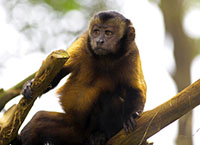 Brown Capuchin Monkey in the Brazilian forest