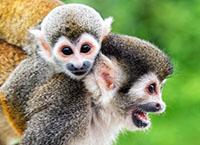 Two squirrel monkeys, a mother and her child in the Amazon rainforest near Leticia, Colombia