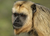 Black-howler monkey, Alouatta caraya,  single female close up, Brazil
