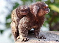 The common marmoset (Callithrix jacchus) White-eared female monkey with baby. Selective focus