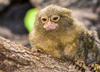 Aimal theme: black-tufted marmoset