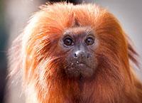 Portrait de singe tamarin lion dor
