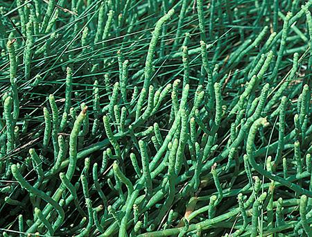 Sarcocornia ambigua
